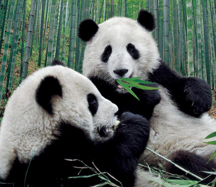 panda101